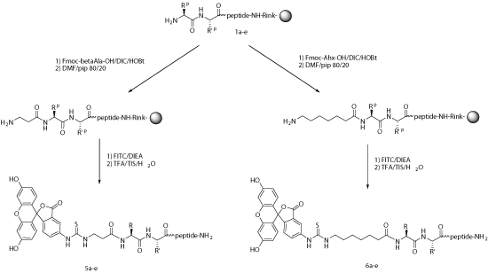 FITC Peptide synthesis: FITC labeling process